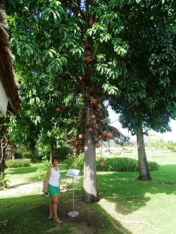 GÜNEY AFRİKA KÖKENLİ CANNON BALL TREE (CANON TOP AĞACI)
